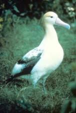 korte staart, albatross, steiller, albatross, vogel