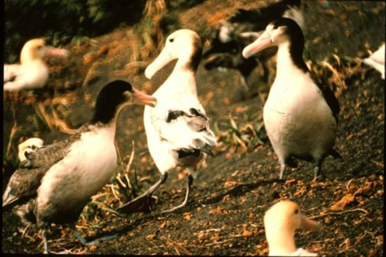 short tailed, albatross, steiller, albatross, diomedea albatrus