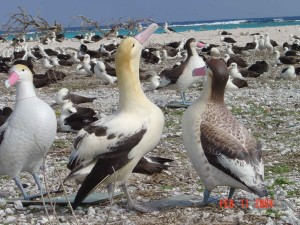 short tailed, albatross, decoys