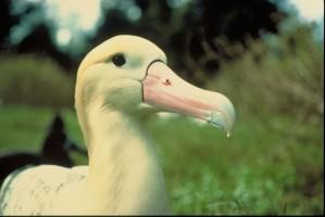 steiller, albatross, vogel, up-close, hoofd, diomedea albatrus