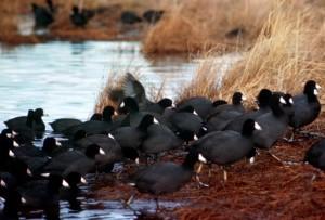 Américains, foulque, troupeau, de près, les oiseaux