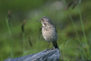 American, pipit, bird, anthus, rubescens