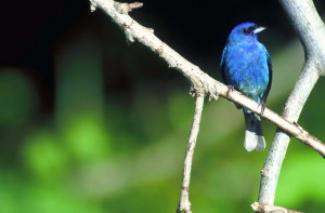 attractive, indigo, bunting, bird, branch
