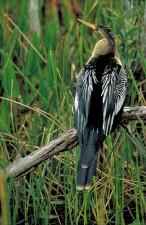 anhinga, bird