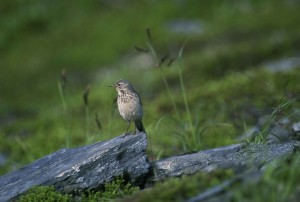 anthus, rubescens, American, pipit, bird