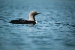 Arctic, loon, bird, animal, water