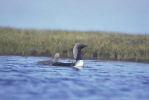 Arctic, loon, bird, duck, chick