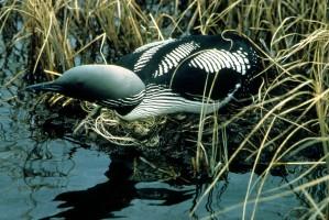 Arctic, loon, nest