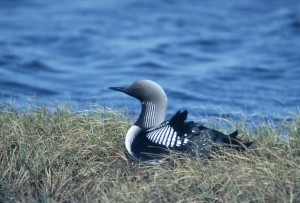Arctic, loon, sitting, grass, water