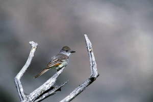 ash, throated, flycatcher, bird, myiarchus, cinerascens