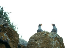 auklets, birds, crested, birds