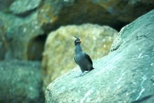 auklets, crested, bird, photo
