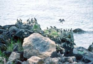 Aethia, (pusilla), co najmniej, auklet, ptaki, woda, skały