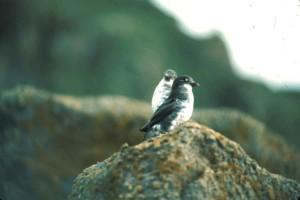 aethia, pusilla, least, auklet, birds, close
