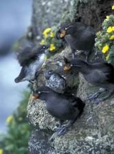 적어도, 볏, auklets, 새, aethia, pusilla, aethia cristatella