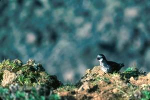 co najmniej, ptak wędrowny, auklet,