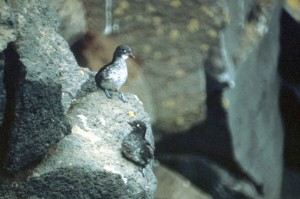 two, least, auklets, birds, aethia, pusilla