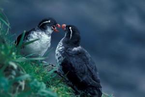 pair, parakeet, auklet, birds, male, female, cyclorrhynchus, psittacula