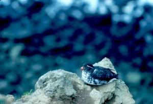 parrocchetto, Auklet, la posa, pietra