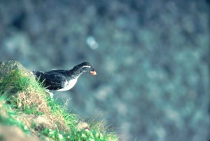 photo, migratory, bird, parakeet, auklet