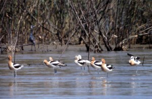 avocests, birds, water, lake
