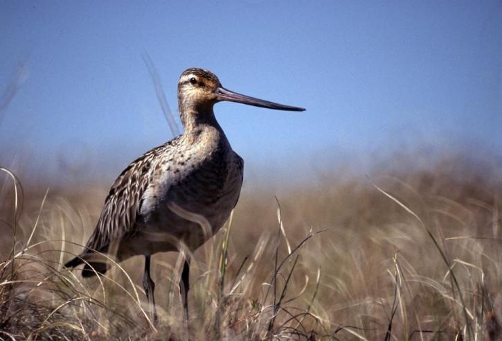 bar, tailed, godwit, limosa lapponica, bird