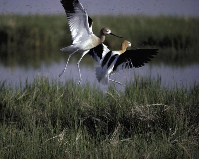 ours, rivière, migrateur, oiseau, refuge