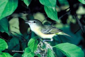 bells, vireo, bird