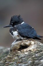 belted, kingfisher, bird