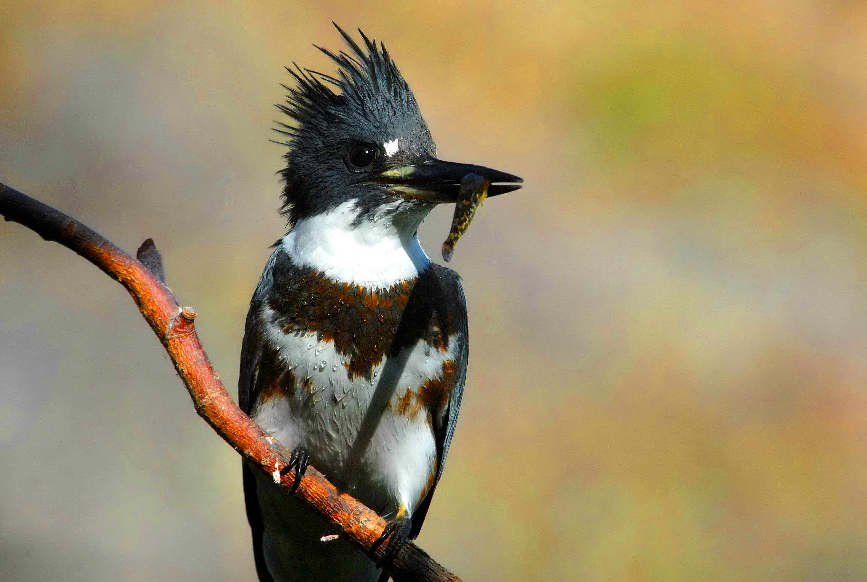 Free photograph; belted, kingfisher, bird, juvenile, female