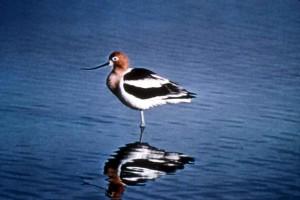 pták, americký, tenkozobce, brodění, voda