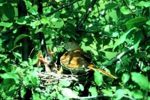 pták, hnízdo, mláďata
