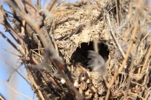 oiseau, nid, cabeza, prieta, désert, refuge