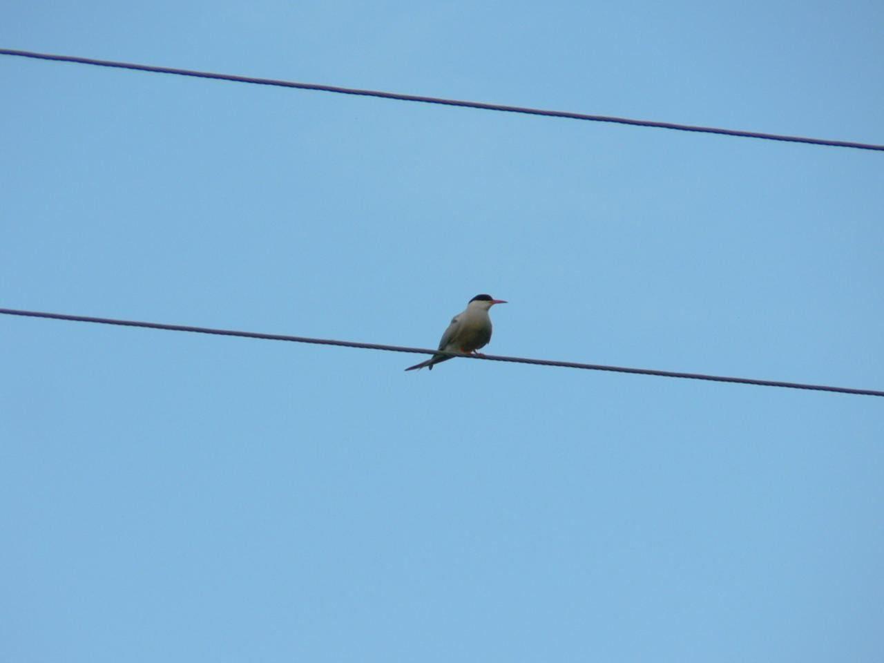 Free picture: bird, telephone, line