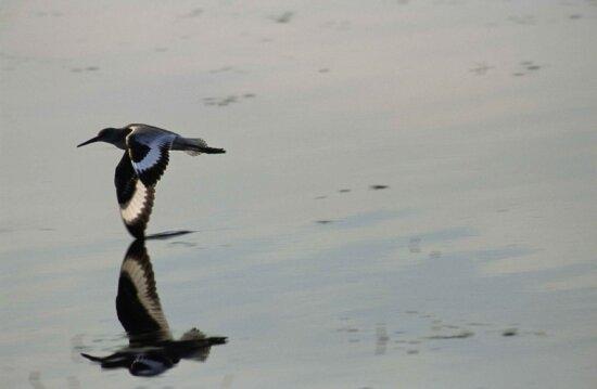 bird, skims, refuge, waters