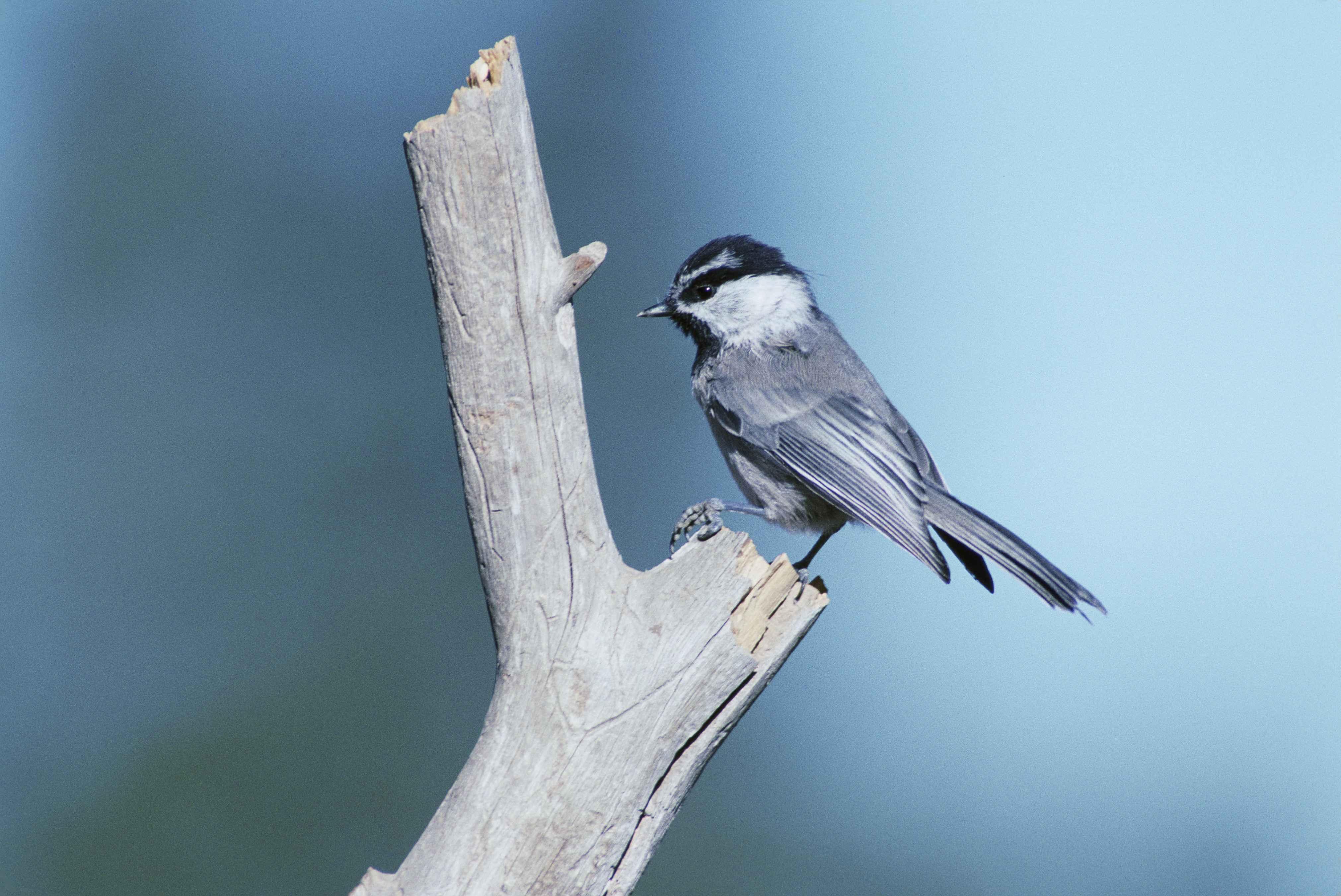 Free Picture Bird Standing Broken Dead Branch