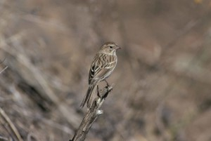 bird, standing, vertical, dead, small, branch, spizella, breweri