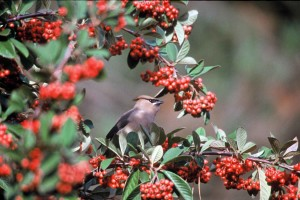 bird, red, holly, balls