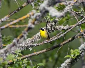 bird, yellowthroat, momentarily, branch