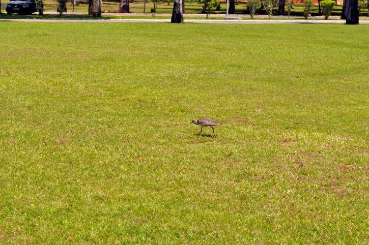 birds, hopping, lawn, grass, park
