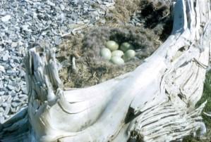 птицы, гнездо, яйца, земля, старый, дерево., ствол.