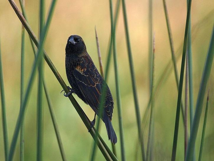 les oiseaux, les marais