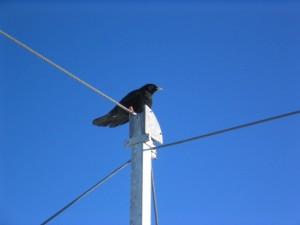 negro, pájaro, teléfono, polo