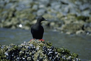 black, guillemot, bird
