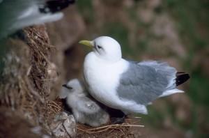 черен, крака, kittiwake, мацка, гнездо