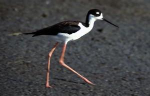 black, necked, stilt, himantopus mexicanus