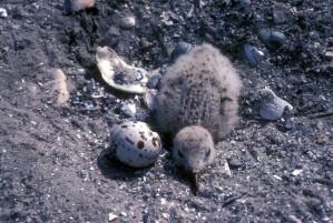 black, skimmer, chick, egg, nest