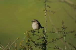 블랙, 꼬리, gnatcatcher, 새, 식물