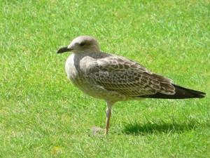 blackbeaked, seabird, grass