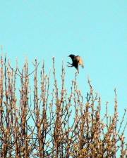 Blackbird, blíží, přistání
